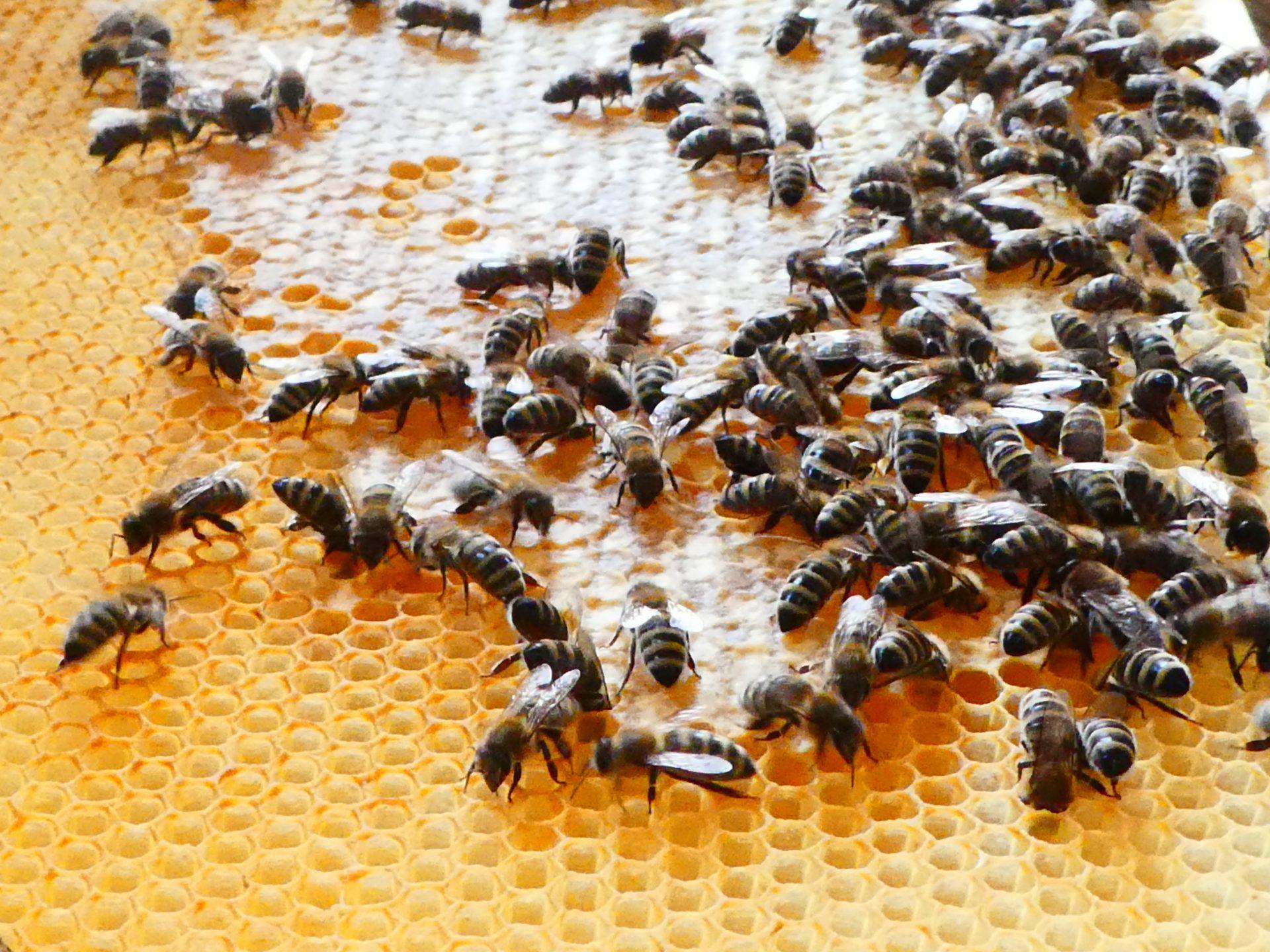 Honig schleudern: Die Waben werden verdeckelt