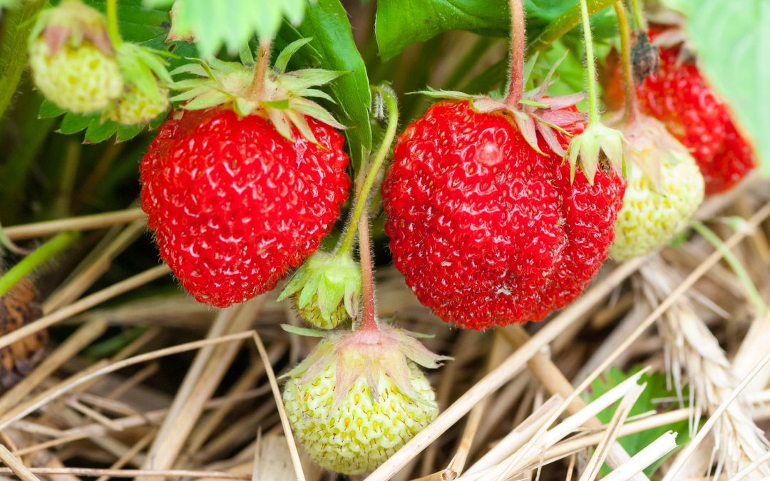 Hohes für die rote Königin der Beeren: unsere Erdbeertürme