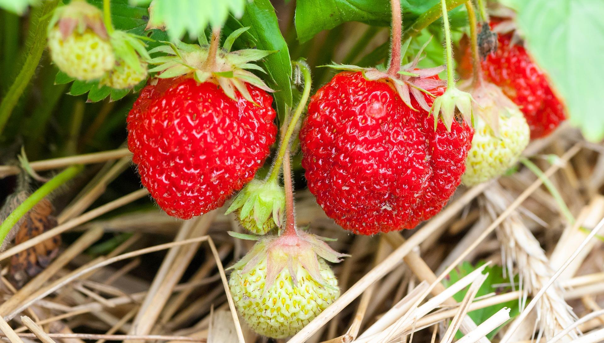 Erdbeertürme